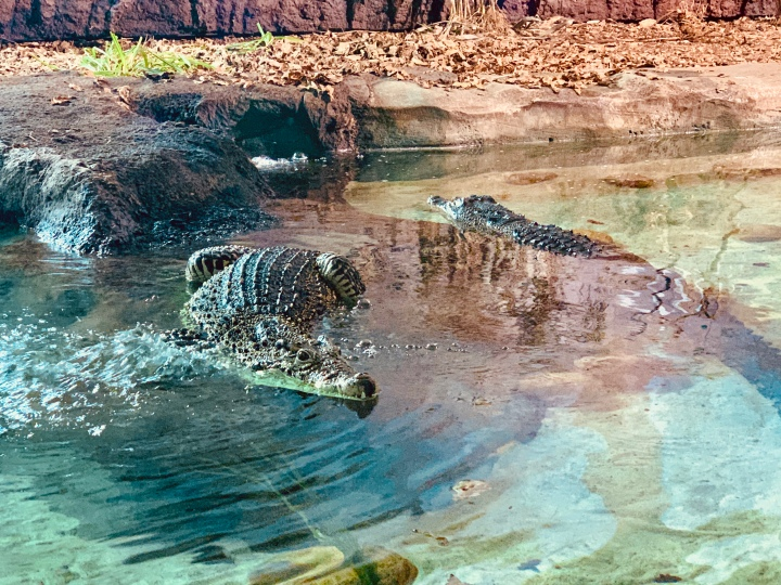 crocodile floating in the water
