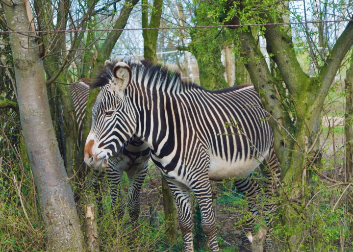 chessington VIP photography experience zebra