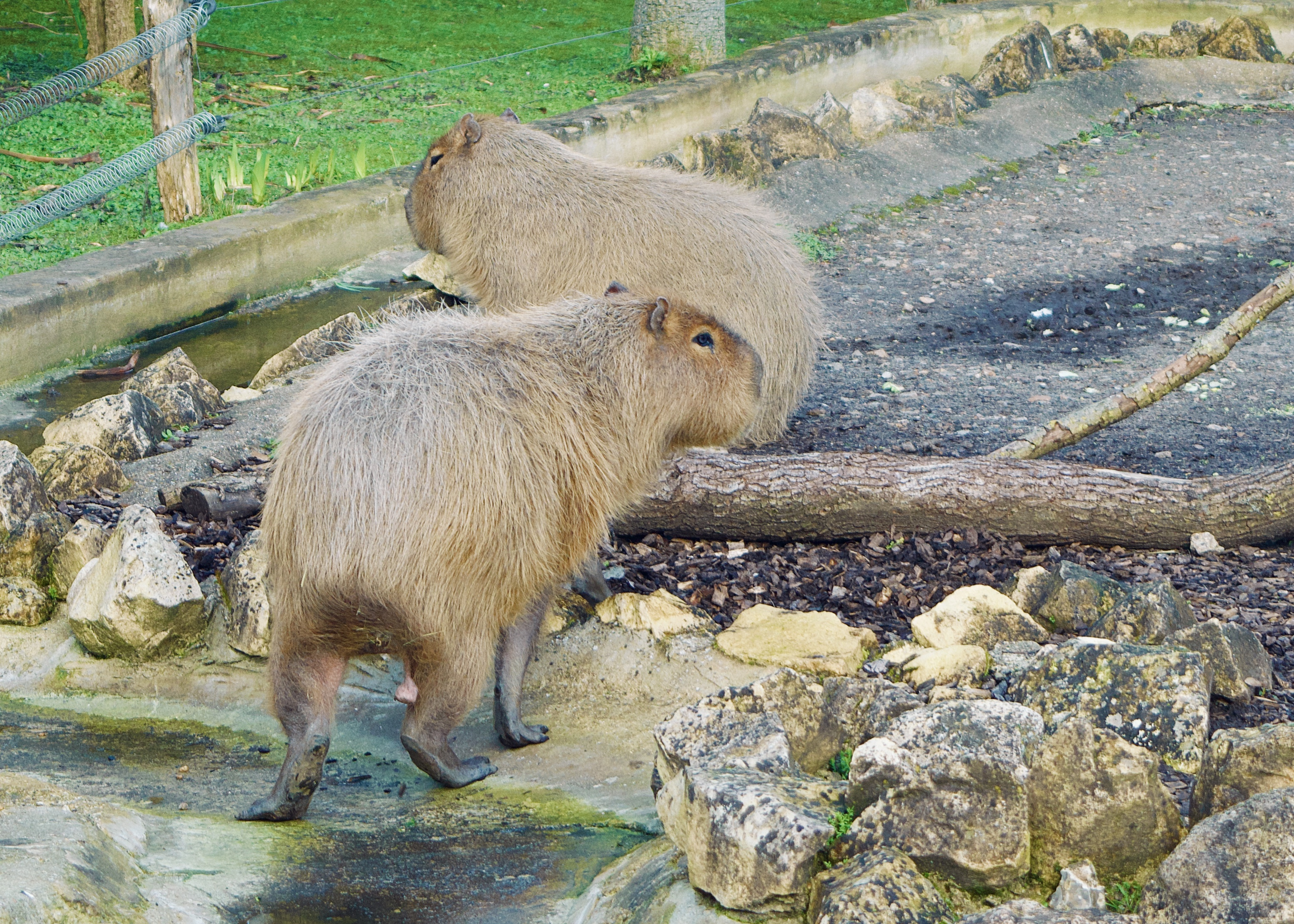 chessington world of adventures capybara