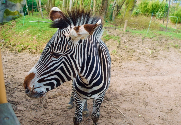 chessington world of adventures zebra