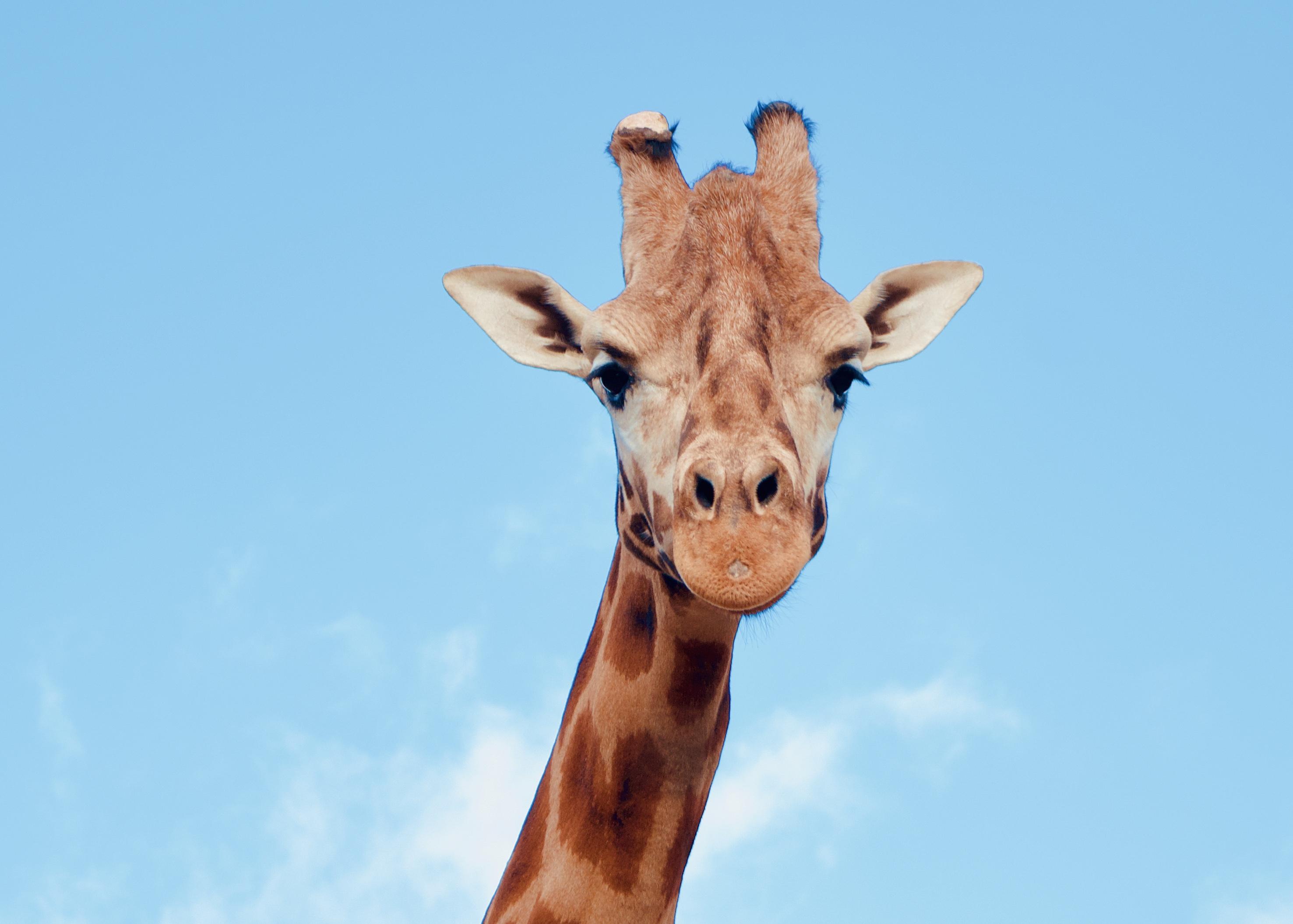 chessington VIP photography experience giraffe
