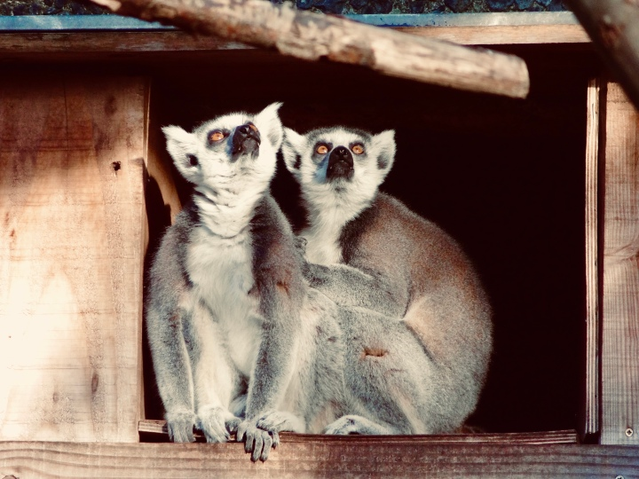 two lemurs sitting on perch