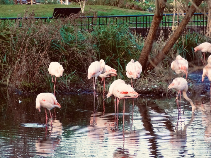 flamingoes in a pond