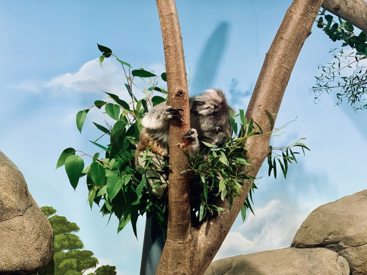 koala eating in the tree