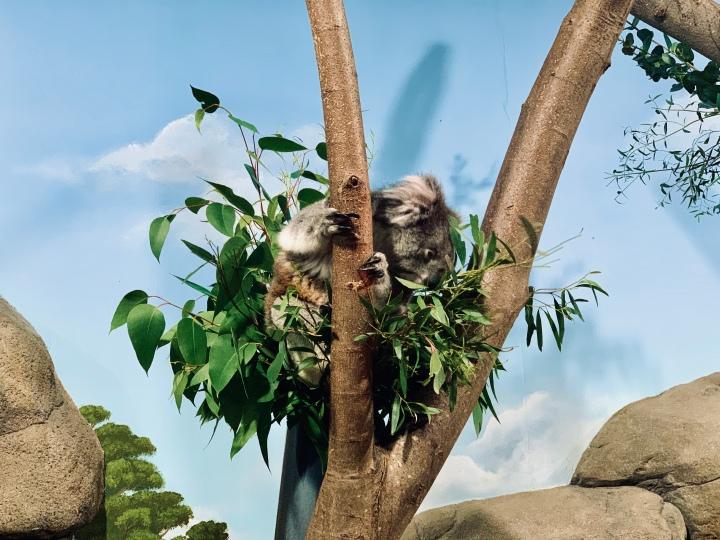 koala eating in the tree