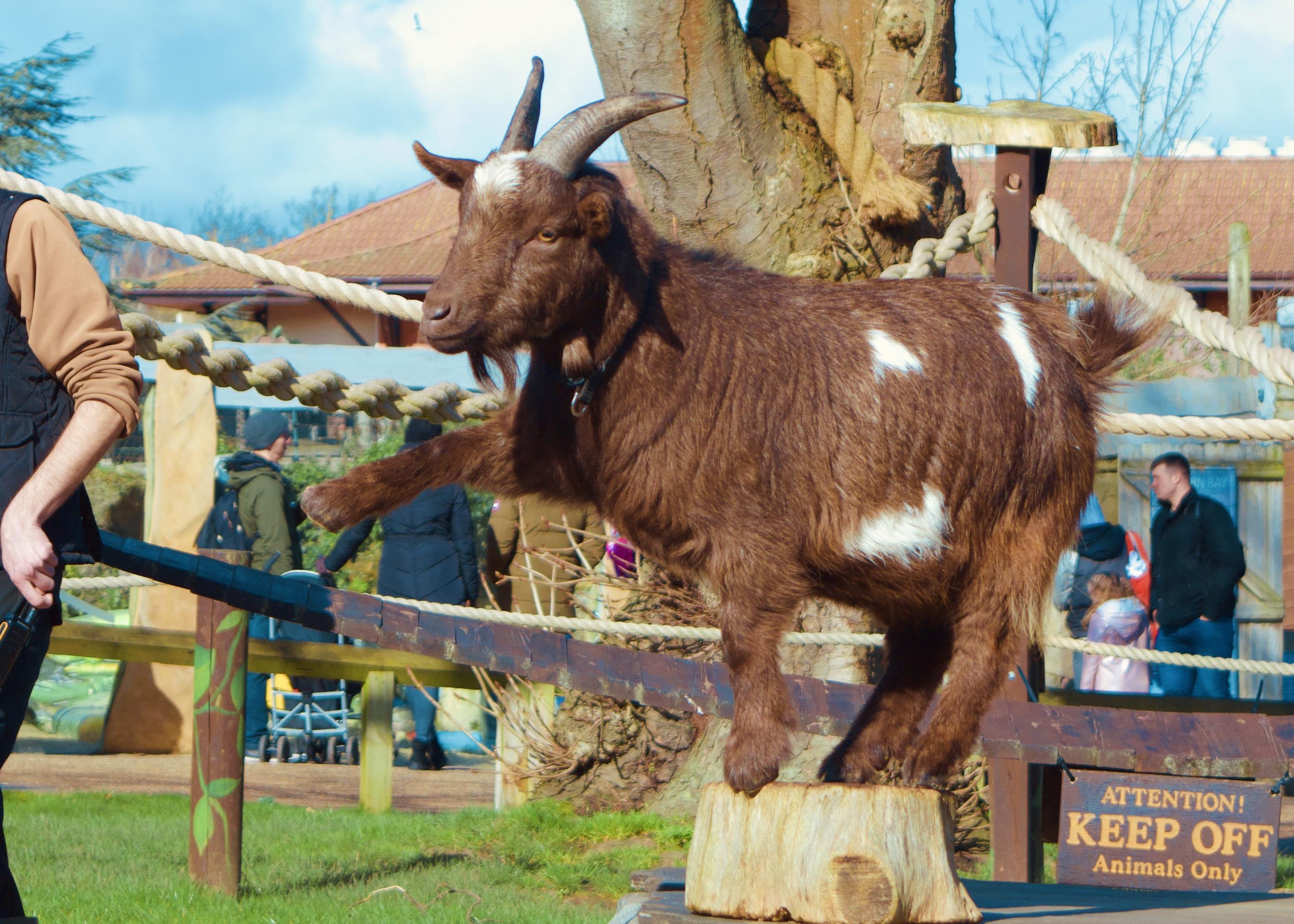 chessington world of adventures goat