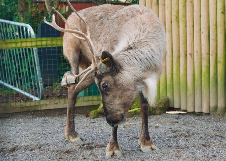 chessington world of adventures reindeer