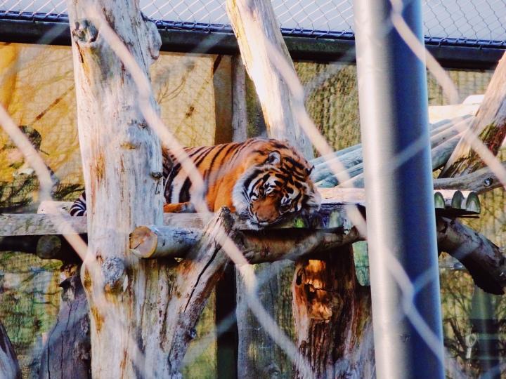 tiger sleeping on platform in enclosure